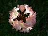 Rhododendron head at my cousin's house in Seattle