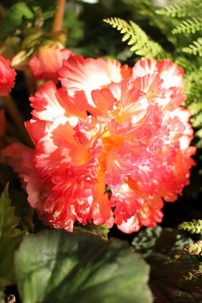 Sunset begonia