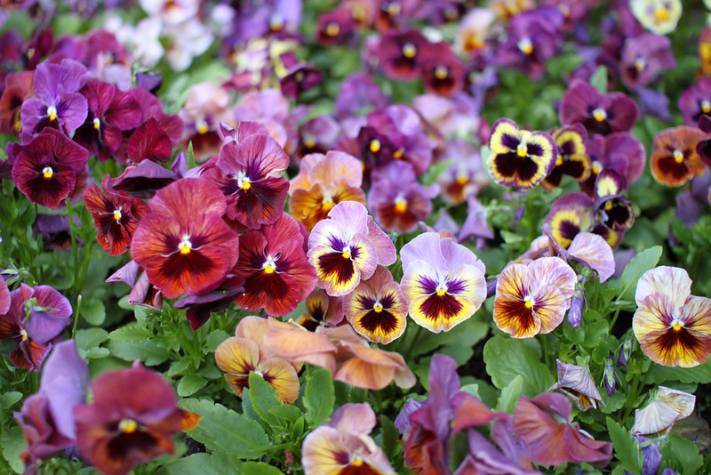 Just pansy