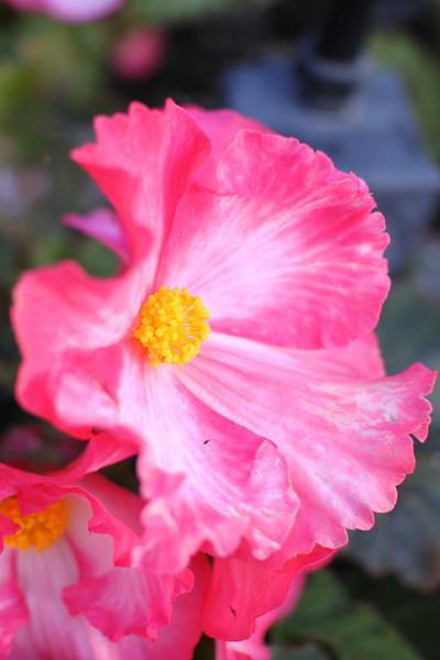 Begonia in Butchart gardens