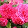 Begonia, not a carnation