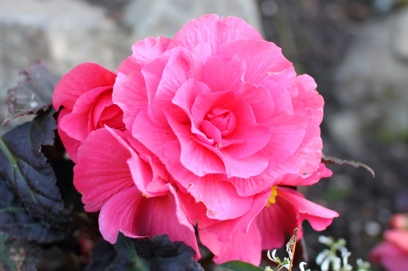 This is begonia, not a rose