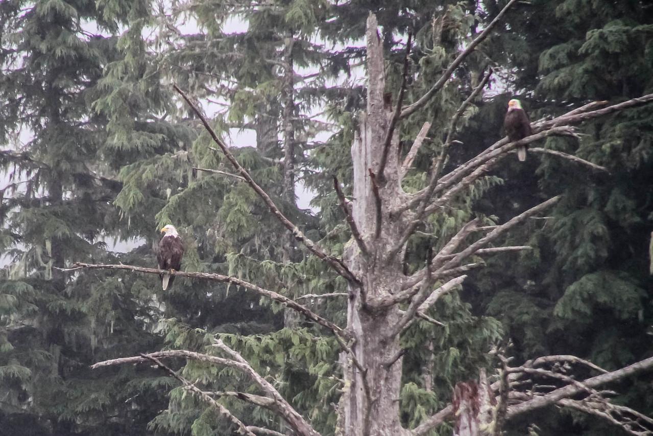 Bald Eagle - Misty Fjords