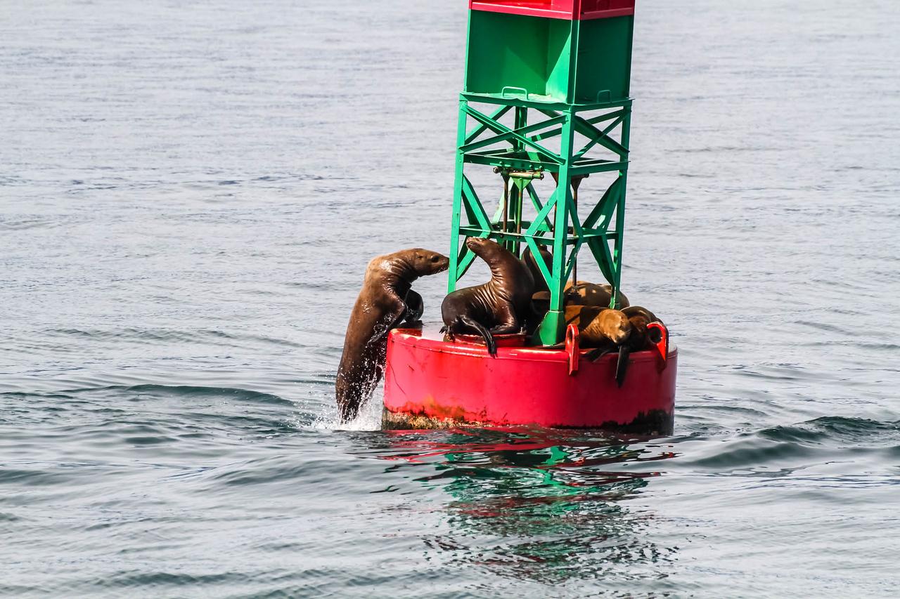 Seal - Juneau