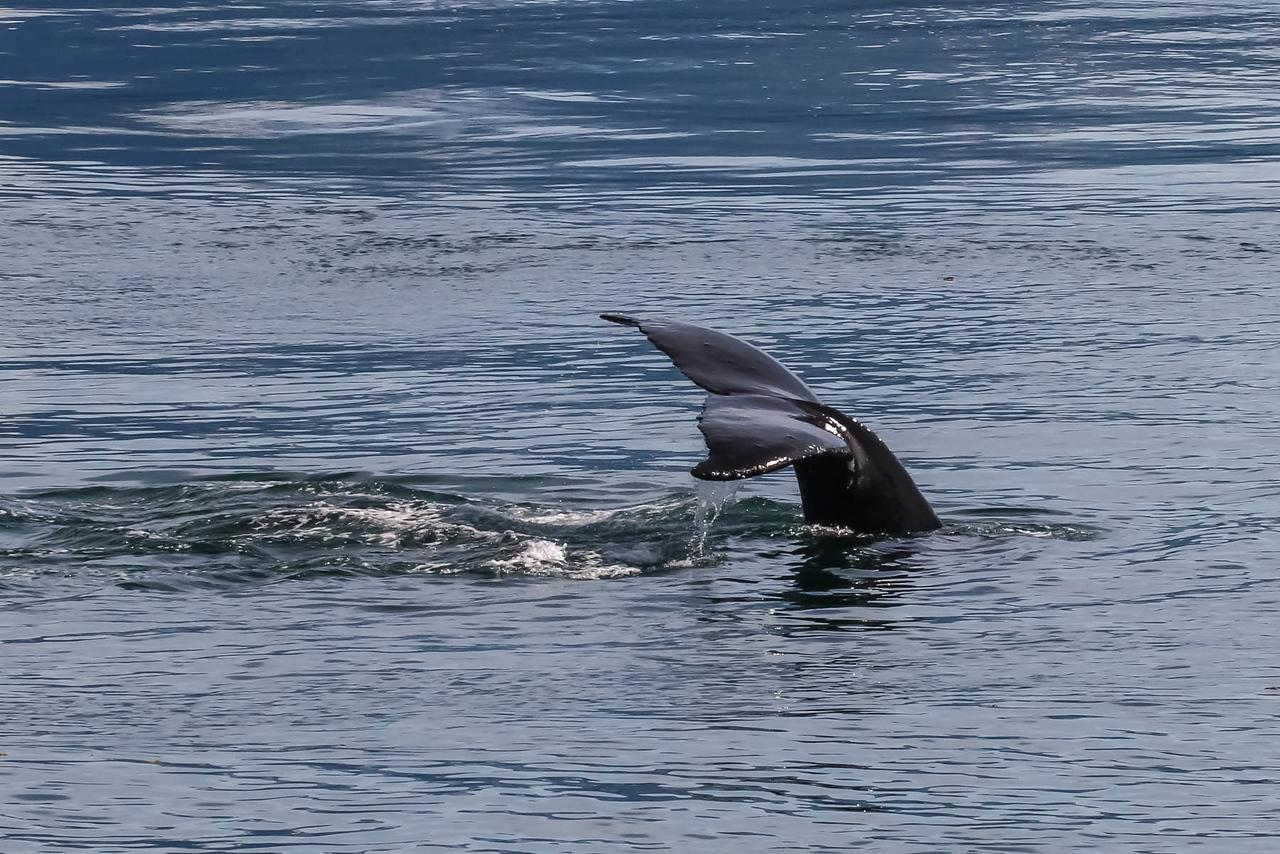 Hump-backed Whale - Juneau