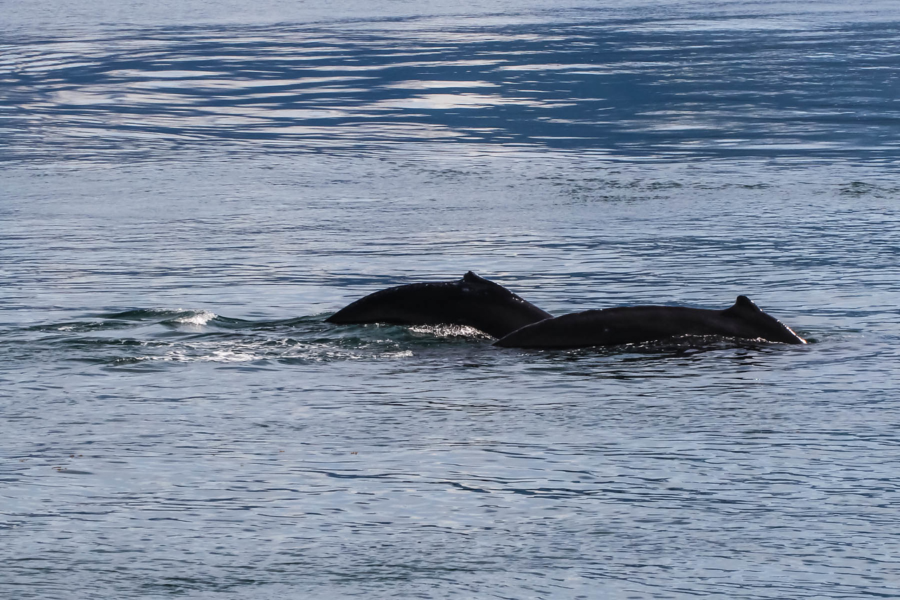 Hump-backed Whale - Juneau