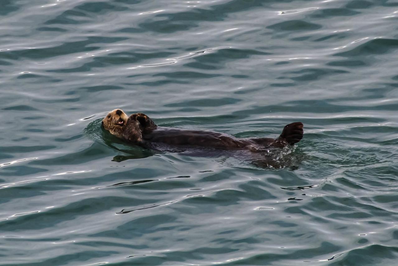 Sea Otter - Glacier Bay National Park