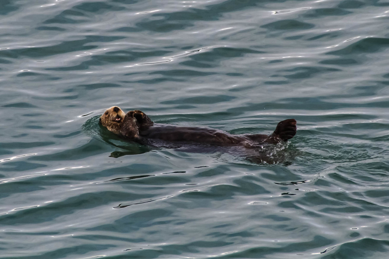 Sea Otter - Glacier Bay National Park