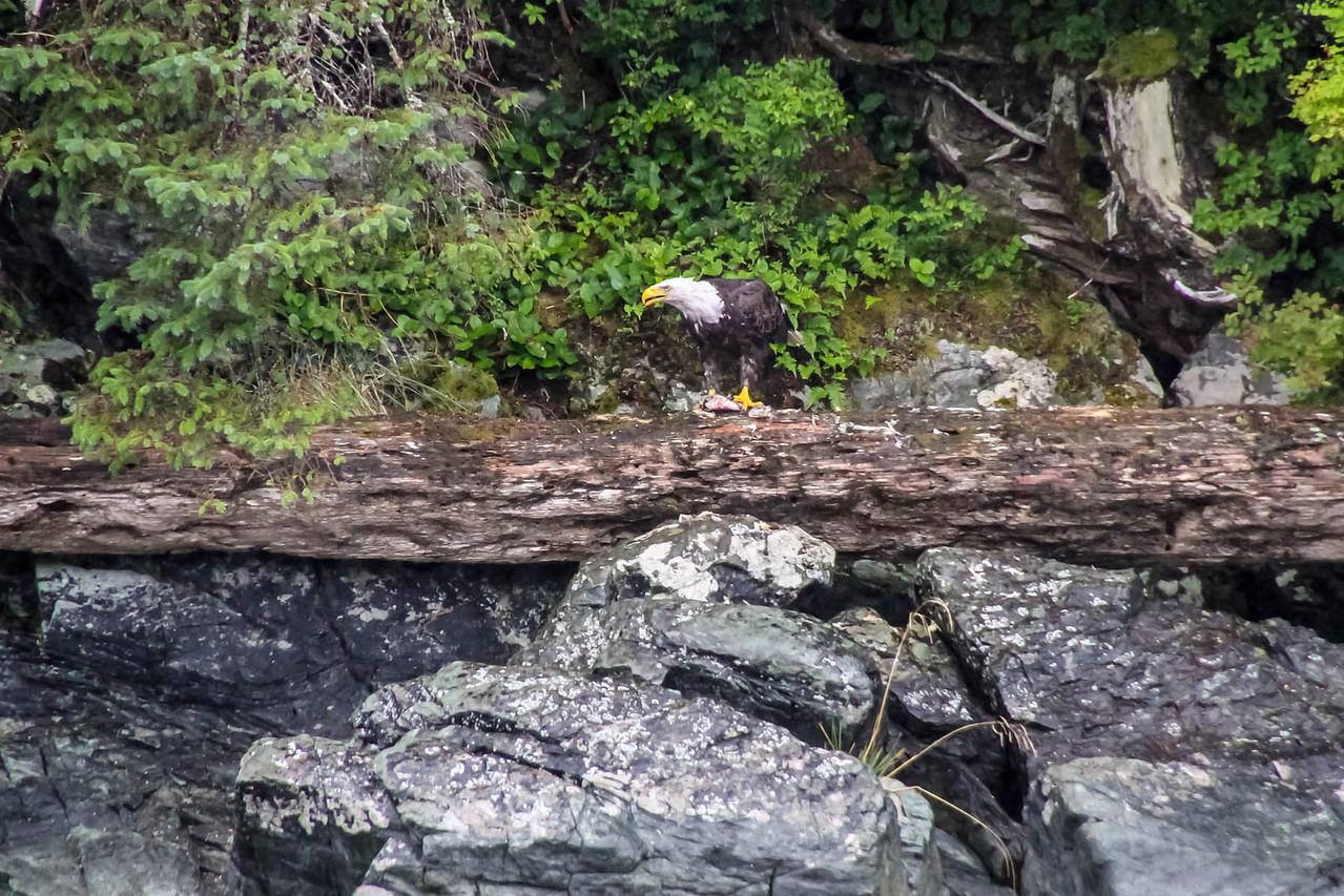 Bald Eagle - Misty Fjords Boat Tour