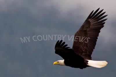 Alaska Trip Day 11 -89 Eagle shot by Joshua