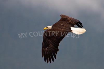 Alaska Trip Day 11 -88 Eagle shot by Joshua