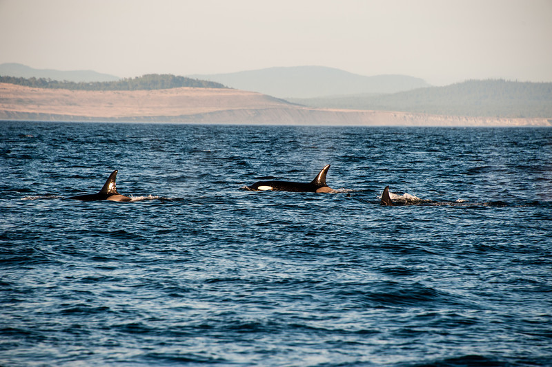 And even more orcas