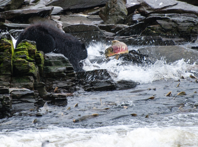 Bear hunting him some salmon