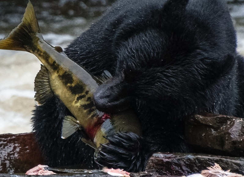Bears apparently really like eating salmon