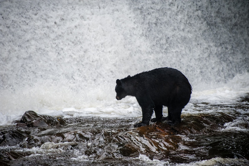 Bear in front of a waterfall