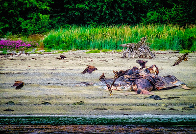 Eagles feeding on  Whale Carcass