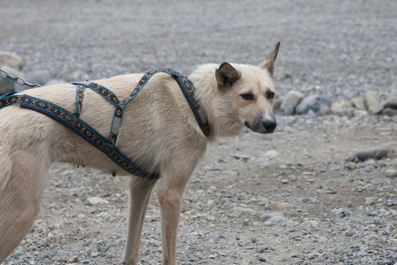 Sled dog harnesses are designed to be comfortable and let the dog contribute to pulling the sled, as well as stay connected to the team.  Note: a sled on snow/ice is very light, so each dog has very little to pull - the equivalent of pulling a few pounds.