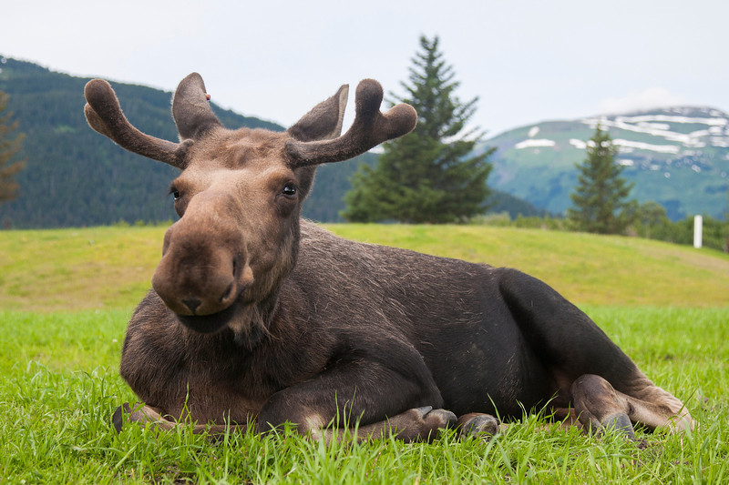 A female moose at the Alaska Wildlife Conservation Center near Anchorage.