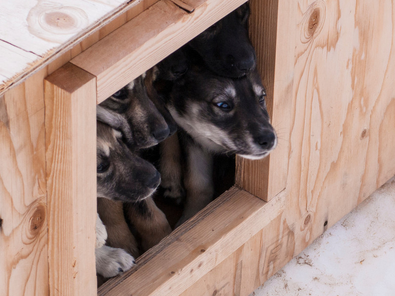 Some future members of the sled teams - not sure they want to come out and meet us.