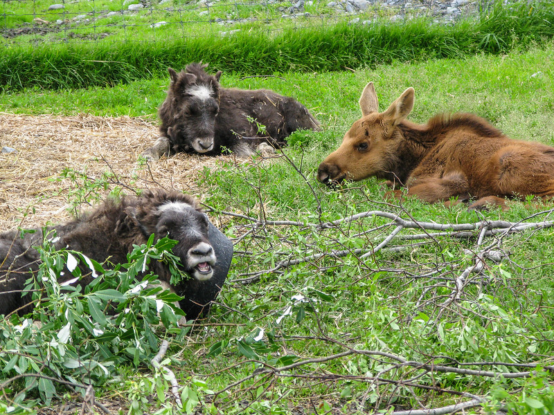 Rescued orphan musk ox and moose (at Alaska Wildlife Conservation Center)