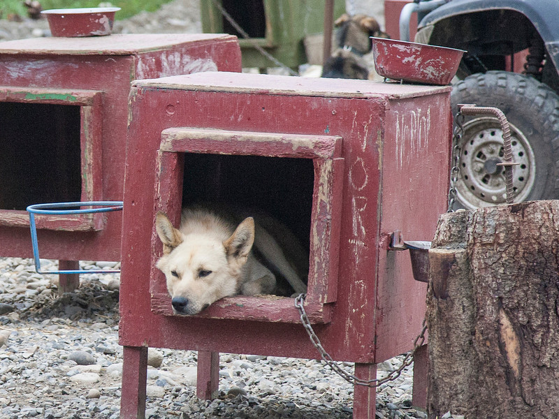 Norton is a bit of a trouble maker, but at this moment just taking it easy. Sled dogs live in these box/kennels year-round but, because of their special coats, they're able to stay warm (although, in unusual cold spells, their owners add some straw for extra insulation).