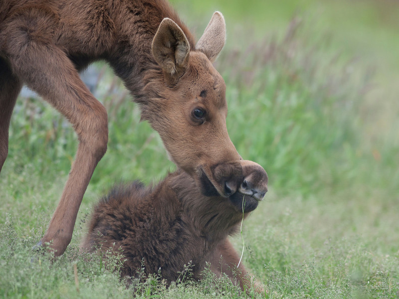 The two moose orphans stayed really close to each other.