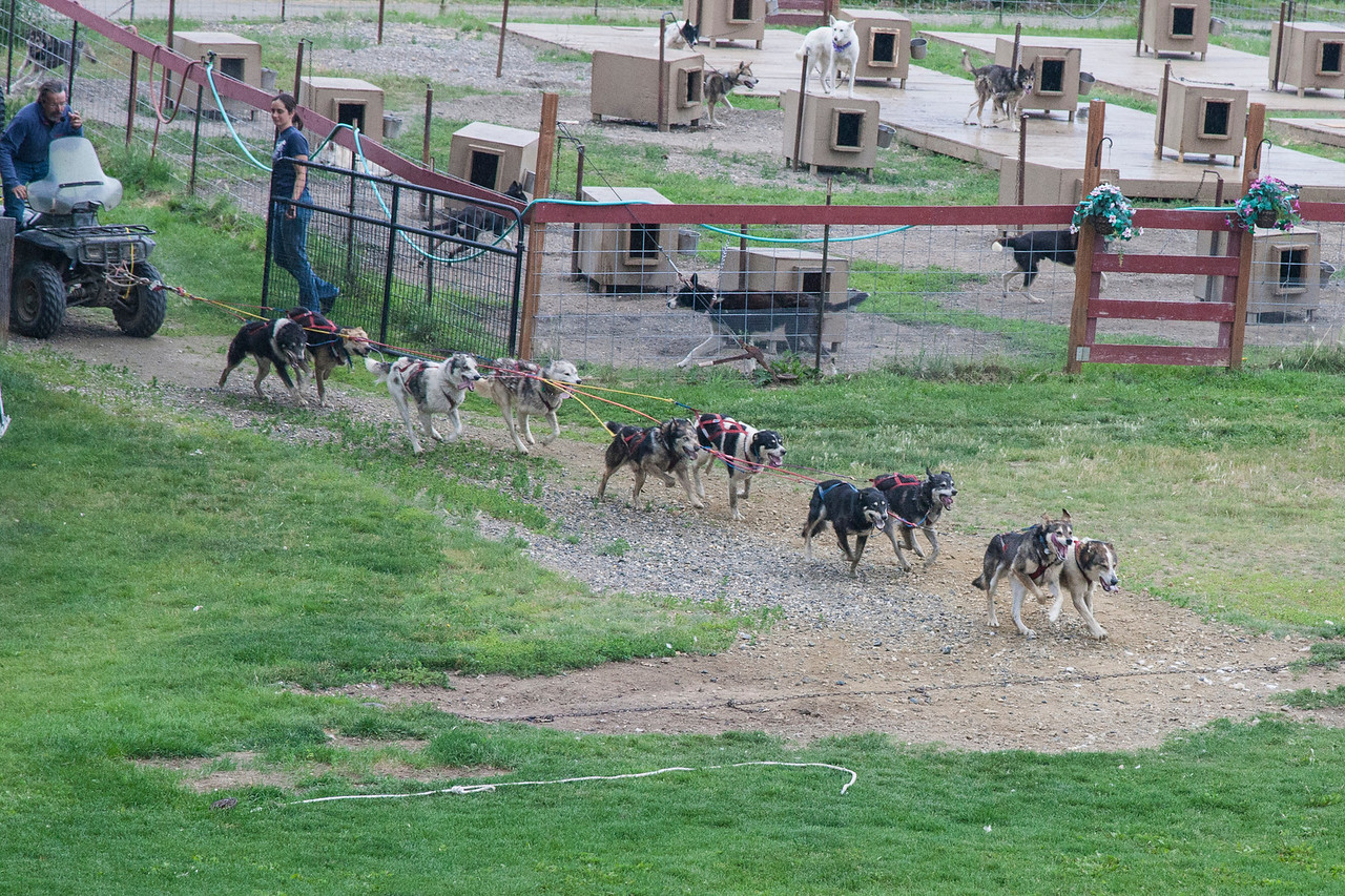 ...and 10 minutes later, they came barreling back into the yard.  Alaskan huskies can run 6-8 HOURS without stopping, so this wasn't much of a workout (mostly for us tourists).