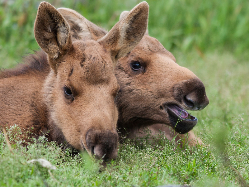 A pair of orphaned young moose rescued by the Alaska Wildlife Conservation Center.