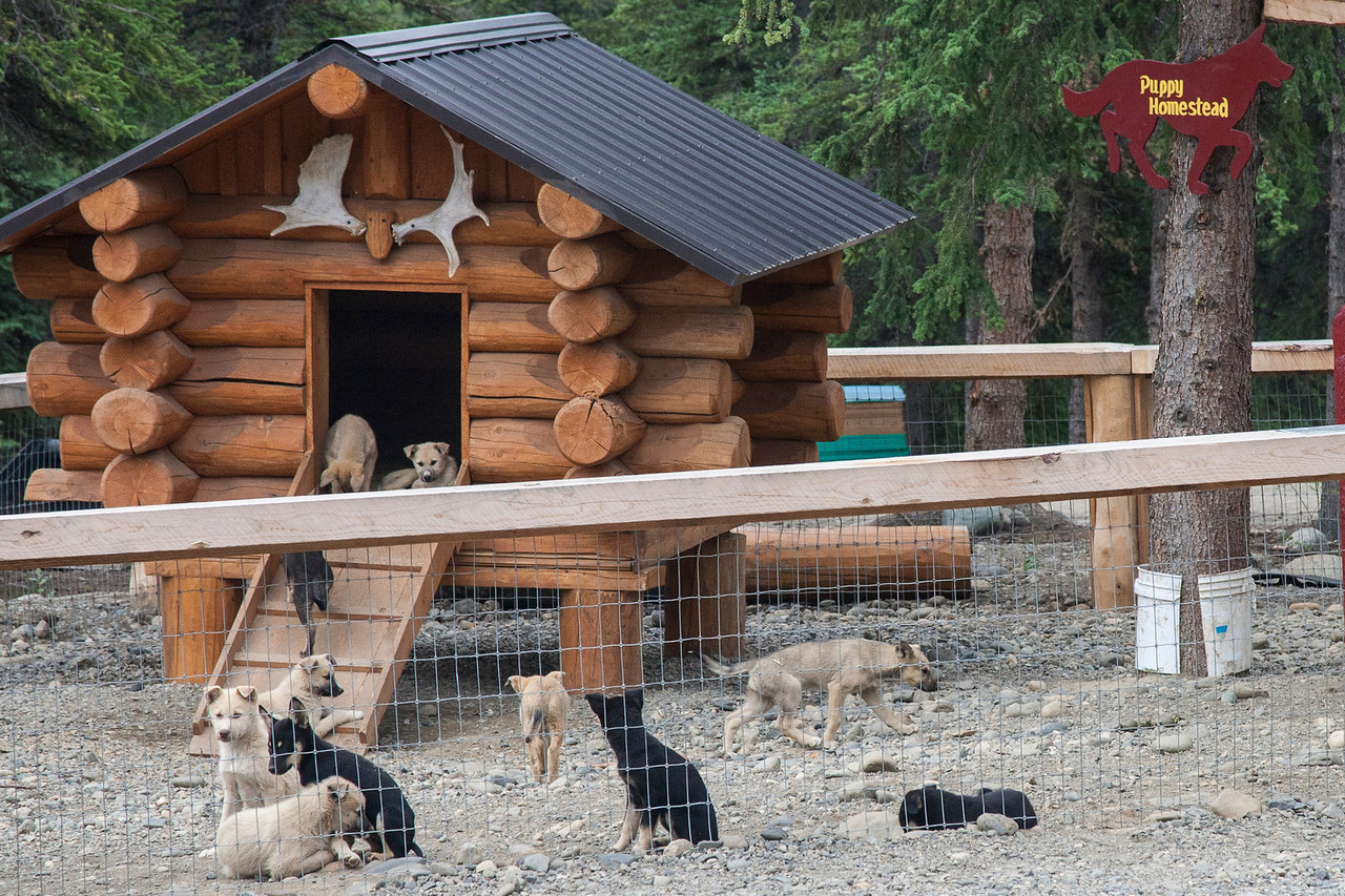 Puppy Homestead, where the would-be sled dogs grow up together.