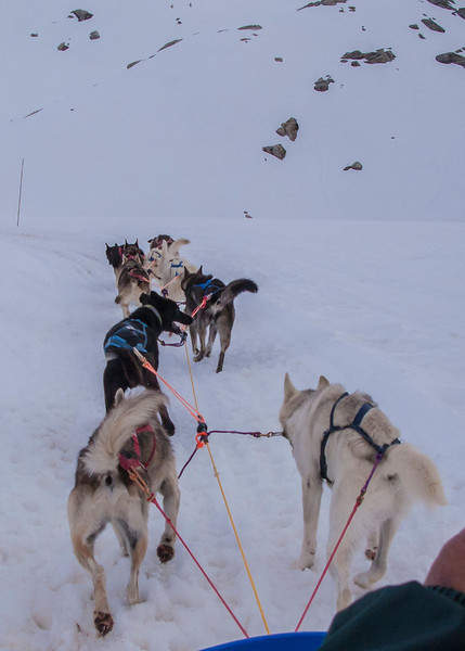 And we're off!  You can see how each dog is harnessed.  Pulling the sled takes almost no effort by any individual dog, so this is mostly an excercise in running...and endurance.  These dogs can run for 6-8 hours without stopping - amazing athletes!