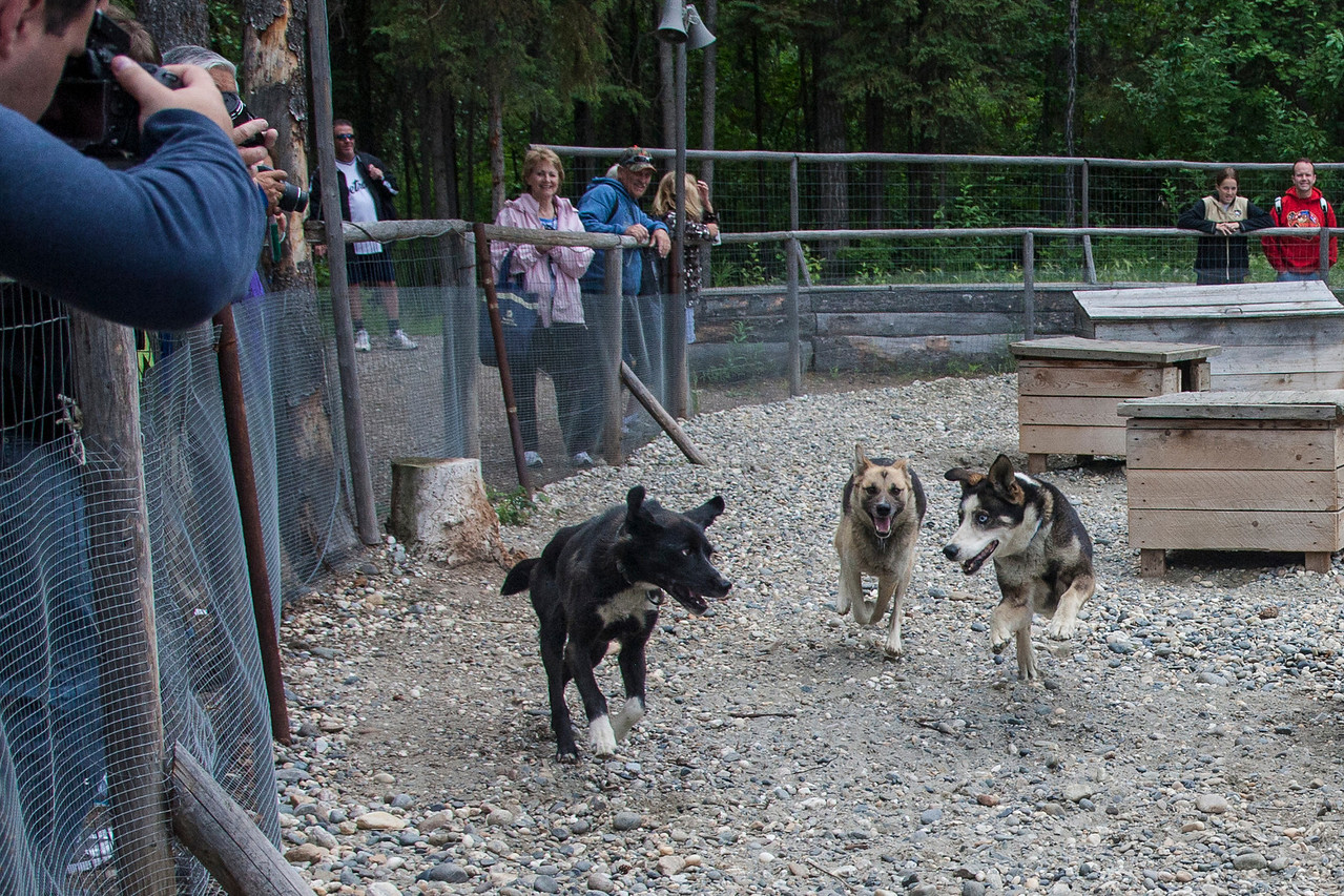 Dogs playing/chasing each other.   Note that none of these dogs is what you normally think of as (or see in movies) sled dogs, which is typically Siberian Huskies.