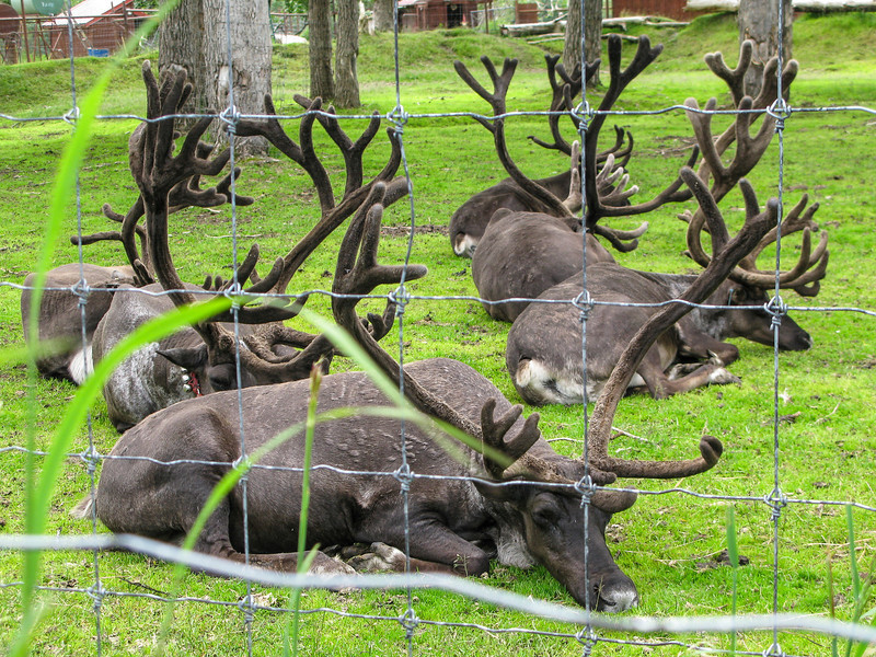 Caribou/Reindeer