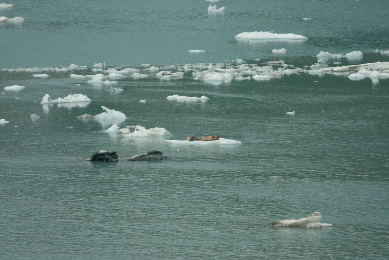 "A, pair, of, seals, basking, on, some, of, the, ""chips"", of, ice, that, have, calved, off, of, the, glacier.  They look like just two more dirty bits of ice..."