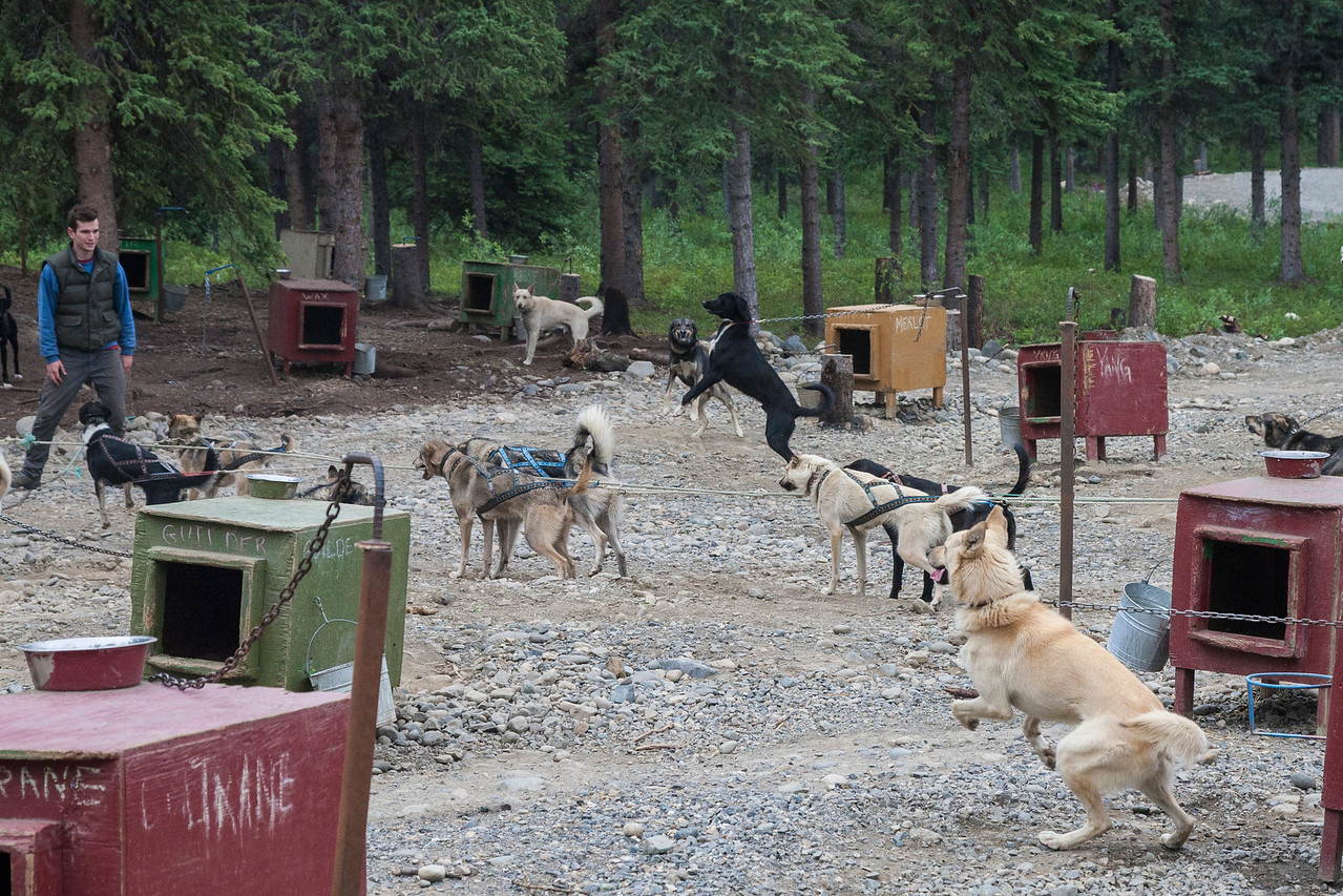 As one of Jeff's assistants chooses dogs to hook up for an ATV pull, every dog in the place is barking and pulling on their chain to go!