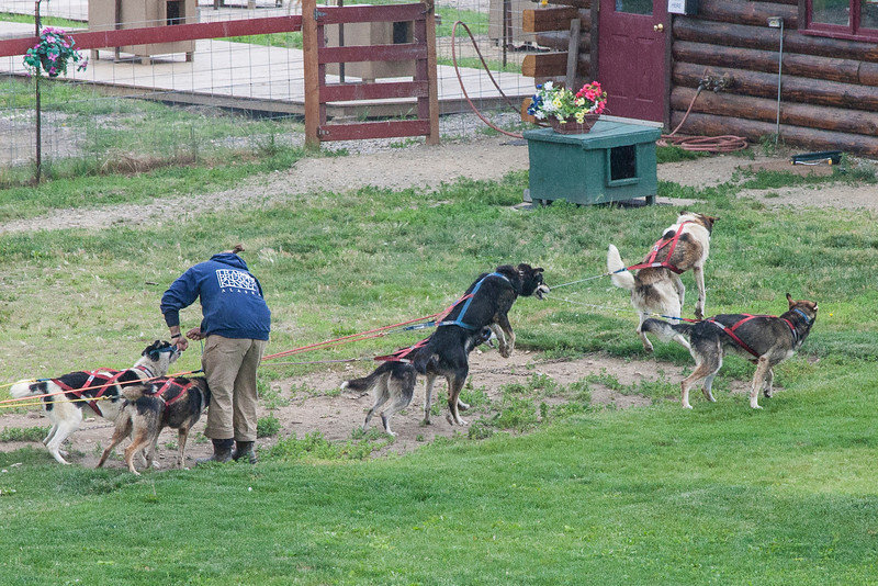 As they finalize getting the dog team harnessed, the dogs get REALLY excited to get going - they LOVE to run/pull, and since they can't go forward yet, the jump several feet straight up in the air.  We saw this with several teams of dogs over the course of the trip.