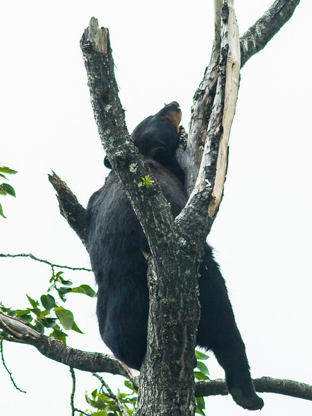 This black bear was napping roughly 50 feet up in the top of a tree!
