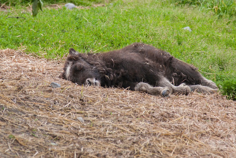 Musk ox baby orphan - plum tuckered out!