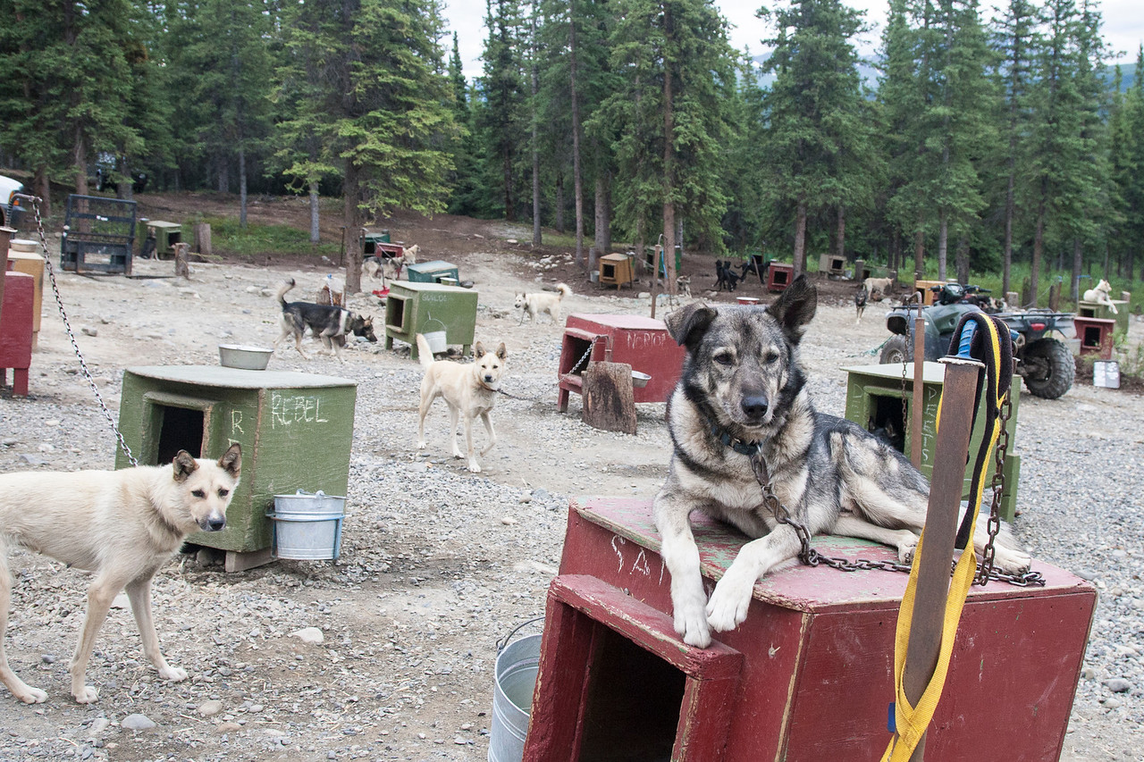 "Salem has two gold harnesses hanging on the post by his house.  Like ""MVP"" awards, they were given for his being the top lead dog in Iditarod races that he (and Jeff) won.  Sled dogs keep training - and can actually keep racing - well into their teens.  When they're finally too old, there are always people wanting them as house pets."