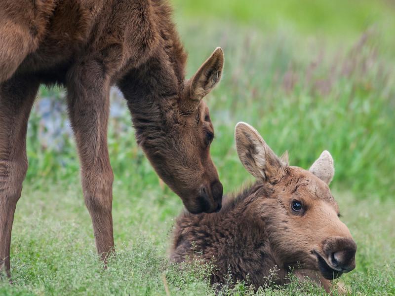 Moose orphans