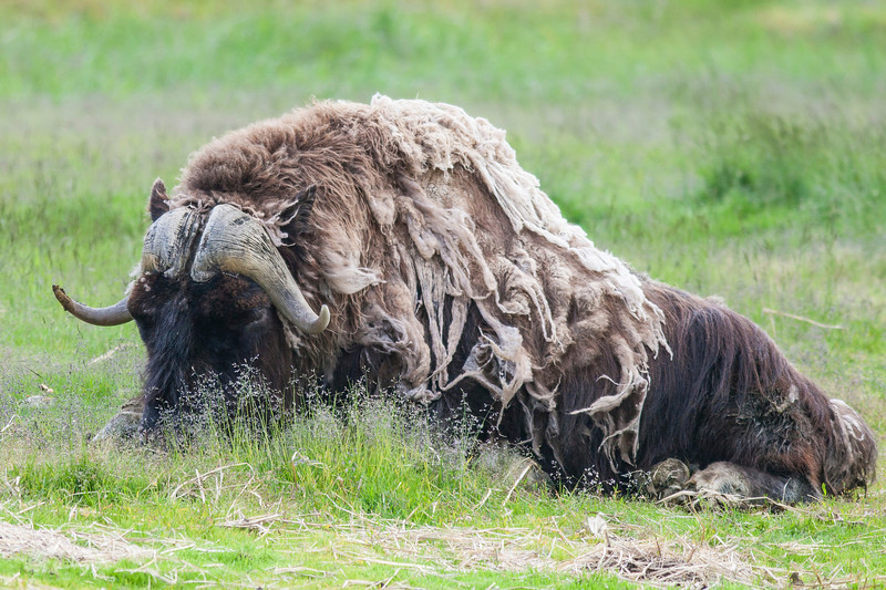 Adult musk ox - built for cold weather!