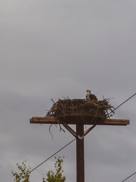 An osprey with a big nest - Traci took my camera and was able to get this shot as we raced by!