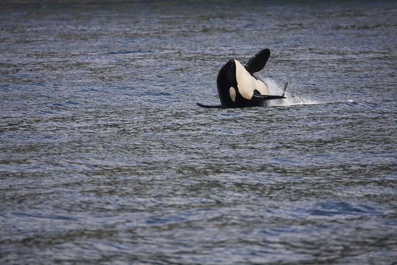 Orca breaching in Kenai Fjord