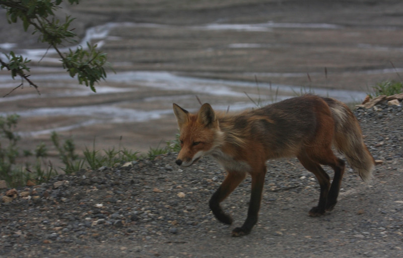 Fox in Denali