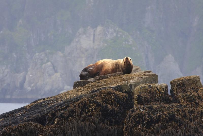 Seal at Kenai Fjord