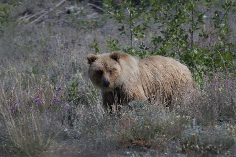 One of two grizzly cubs meandering along the Kluane River