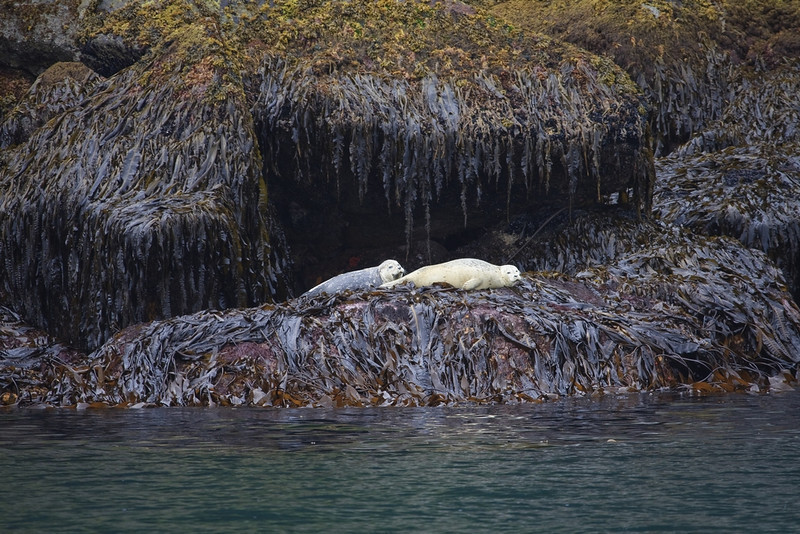Seals at Kenai Fjord