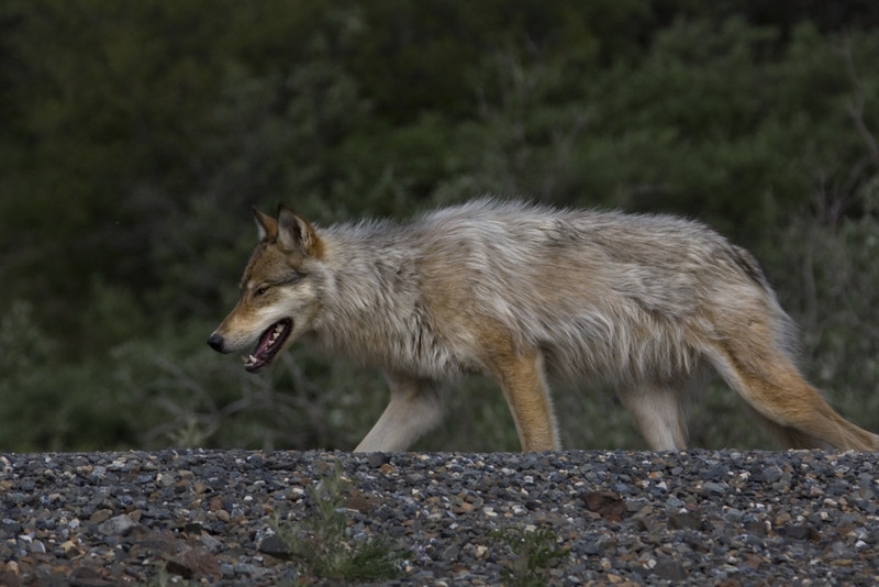 Gray Wolf in Denali NP