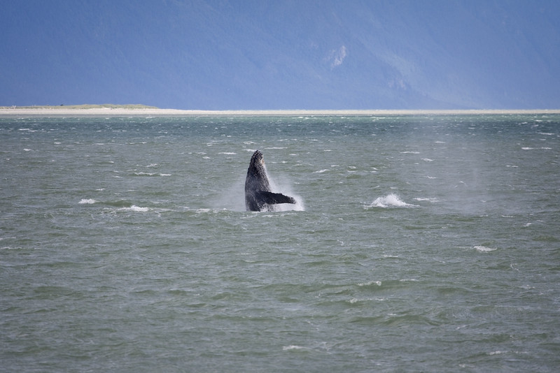 Humpback breaching in waters adjacent to Haines, Ak