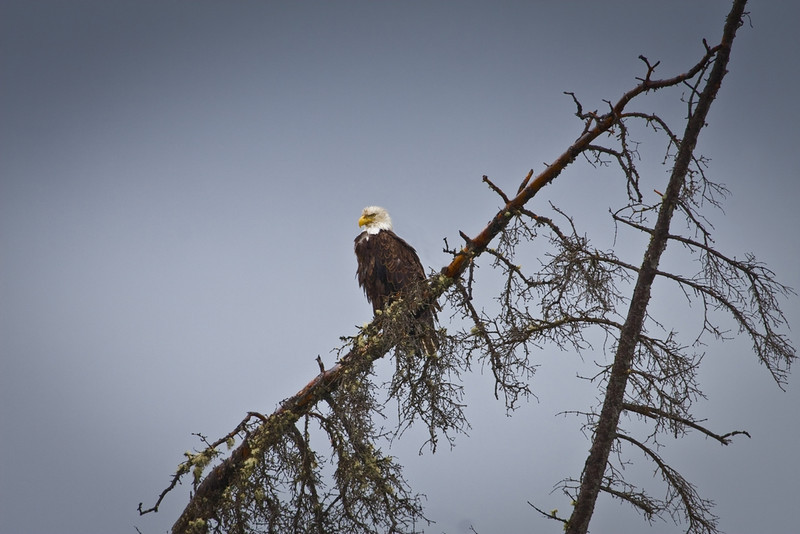 Bald Eagle perched above the tundra along the Alaska Highway -