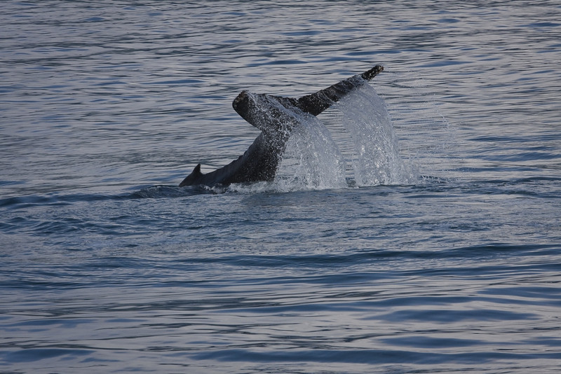 Humpback in Kenai Fjord